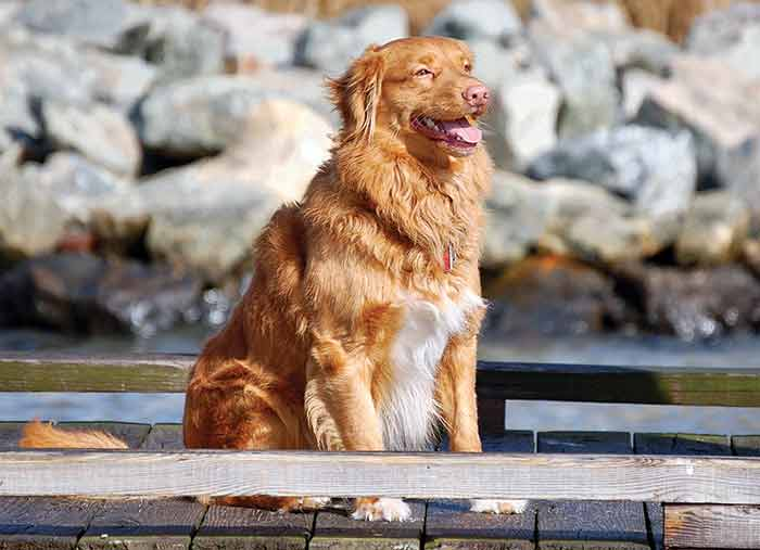 Tolling Retriever
